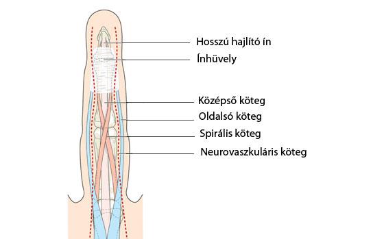 ujjak és lábujjak ízületei)