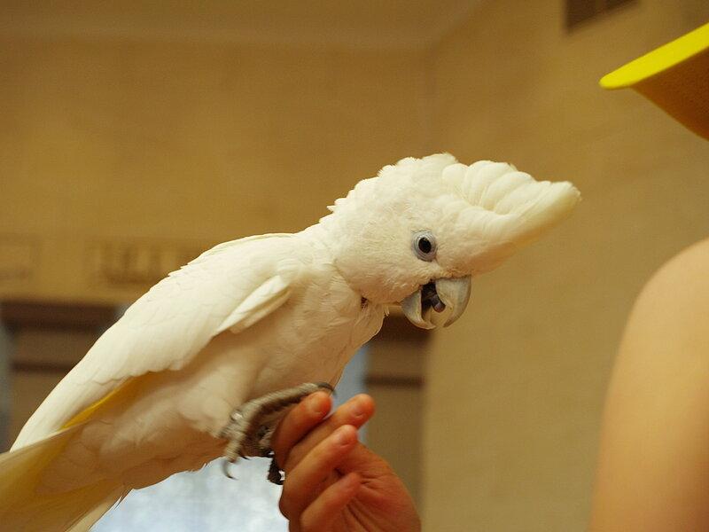 ízületi gyulladás papagájban
