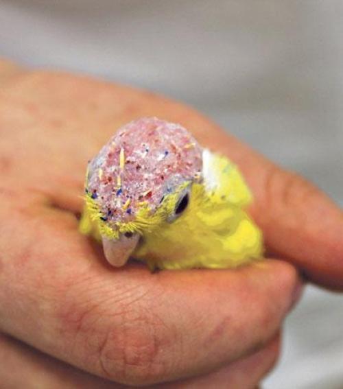 ízületi gyulladás papagájban)