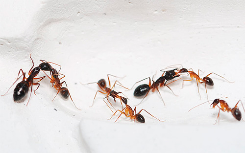 hangyák kezelik az ízületeket