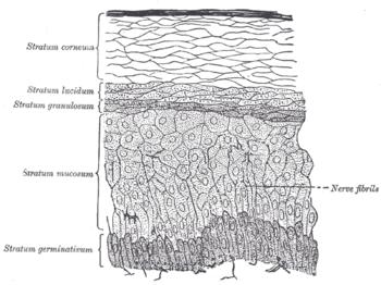 a porc kötőszövetének szerkezeti jellemzői