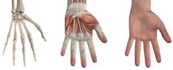 A kéz csontjai és ízületei