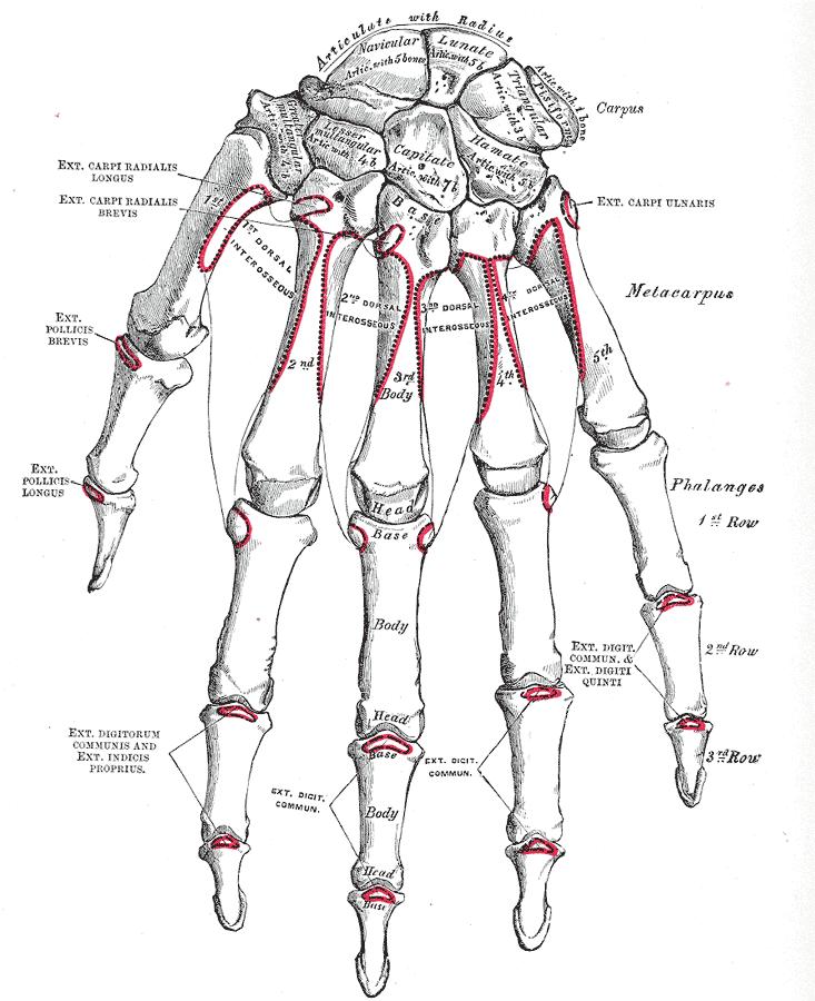a csontok és a kezek ízületei)