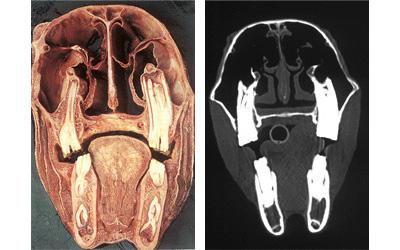 artrózisos sántaság kezelése balzsam lánckerék ízületei