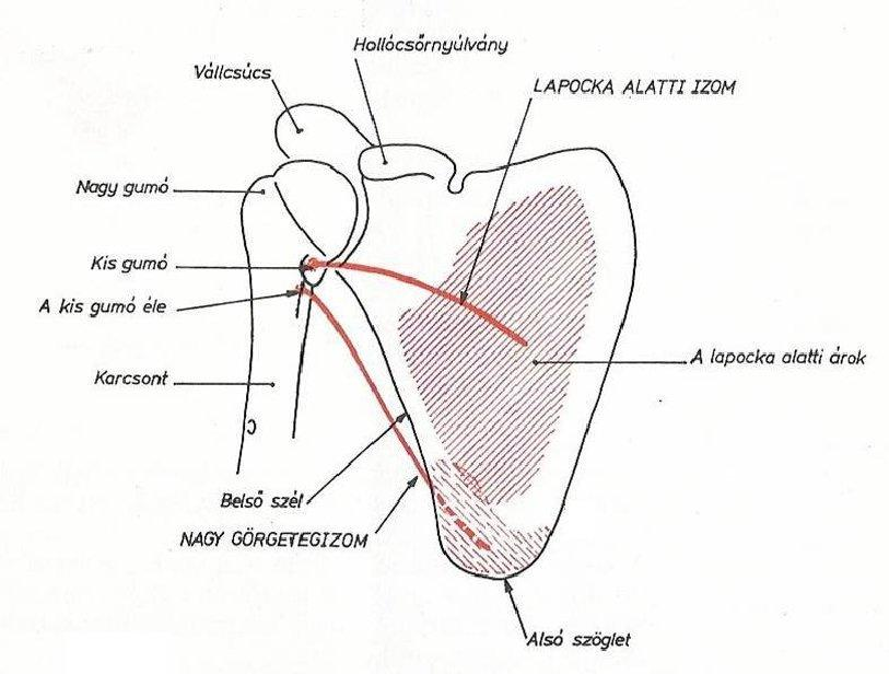 fájdalom a vállízület periartritiszével ízületi gyulladás urológia